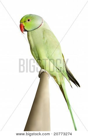 Green Parrot Sitting On A Branch Isolated Over White