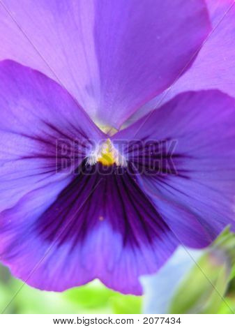 Blue And Purple Shining Pansy