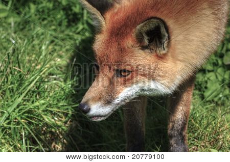Superrb Natural Close Up Of Red Fox In Natural Habitat