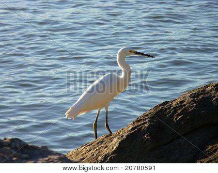 Posing Snowy Egret