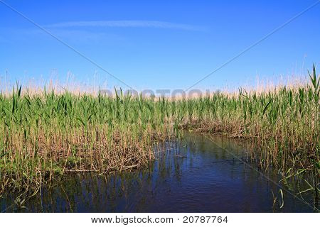 high dry reed in marsh