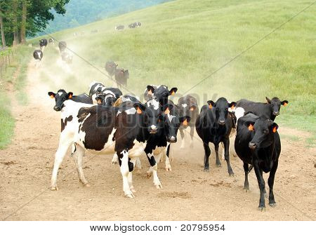 Cows Coming In