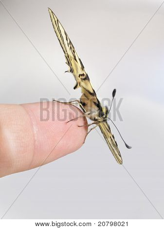 Papilio Machaon Butterfly On The Tip Of A Finger From Side