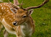 pic of bambi  - a good close up image of a deer - JPG