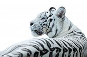 stock photo of white-tiger  - White bengal tiger resting in rocks isolated white - JPG