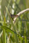 picture of mayfly  - an ephemera danica mayfly resting on reeds - JPG