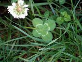 pic of four leaf clover  - Lucky four leaf clover growing in grass patch - JPG
