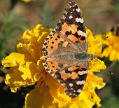 stock photo of pubescent  - The orange butterfly on a beautiful yellow flower - JPG