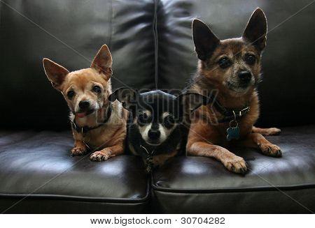 tres chihuahuas en un sofá