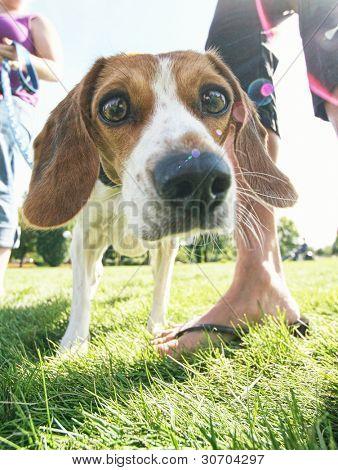 a curious beagle
