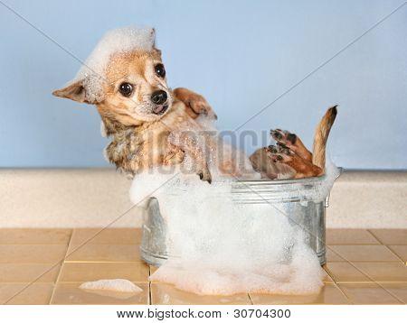 a chihuahua taking a bath
