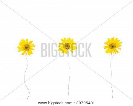 Press Yellow Mum Flowers