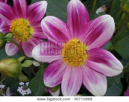 Sommerblume Rosa