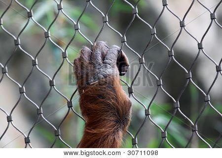 Hand of orang utan