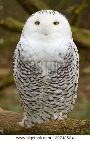 A Snow Owl