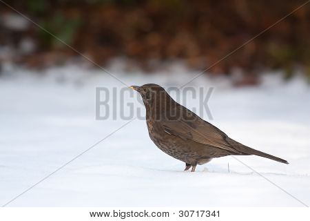 A Blackbird In The Cold Snow