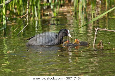 A Coot Is Feeding