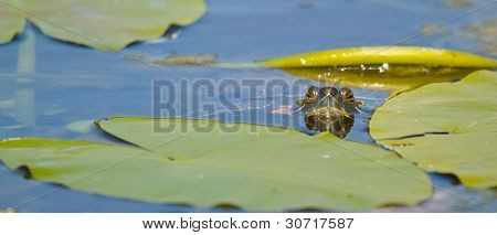 A European Pond Terrapin