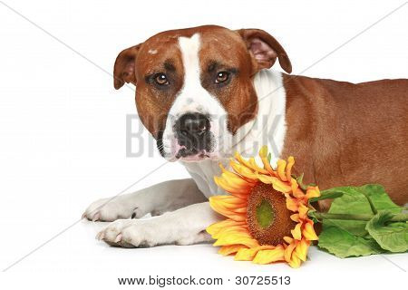 Staffordshire Terrier Lying With Sunflower