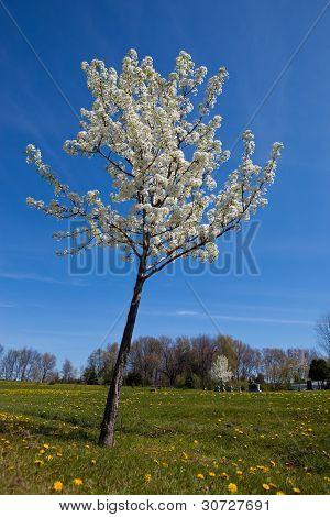 Ornamental Tree In Blossom