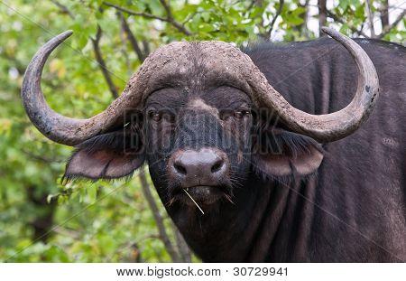 Portrait Of Buffalo Bull