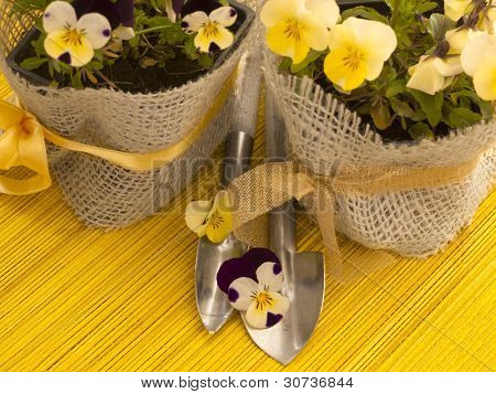 fresh viola flowers in the pots with shovels