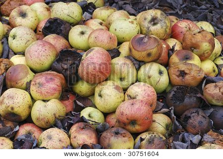 Pile Of Rotting Apples