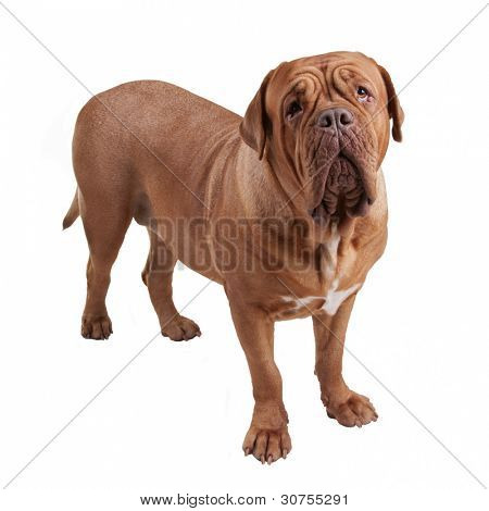 Dogue de Bordeaux/ French Mastiff isolated
