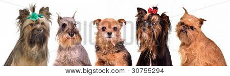Gropu of little dogs isolated portraits