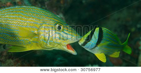 Porkfish and Blue Stripe Grunt