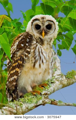 Fledgling Barred Owl