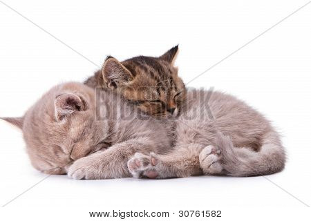 Two British kittens isolated on the white