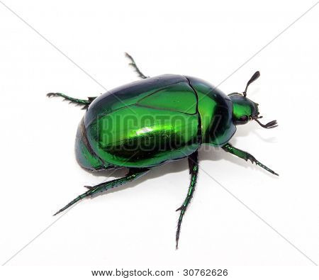 Green Bedbug on white background.Green beetle on white background.