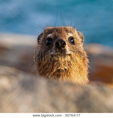 Hyrax Head In Close Up