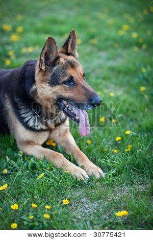 Clever German Shepherd dog lying in the spring grass, waiting for his master's command