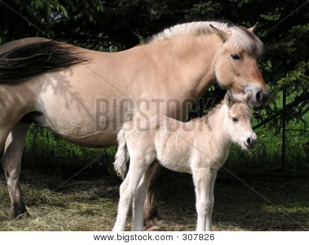 Norwegian Fjord Colt  Mom