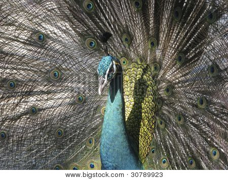 Peacock In Flair