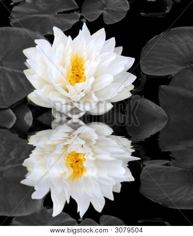 Lotus Beauty Reflection