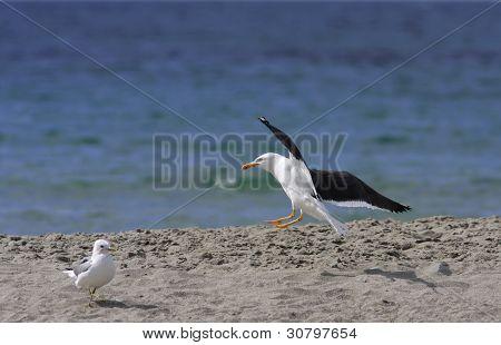 Larus marinus, black-backed gull land on the shore.