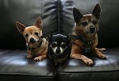 foto of chihuahua mix  - three chihuahuas on a couch - JPG