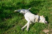 Golden Labrador Lying On The Green Grass In The Park. Dog Relaxes On Nature. Family Vacation. The Go poster