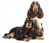couple English Cocker Spaniels  purebred dogs  in  white background poster