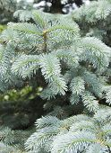 The Branches Of The Blue Spruce Close-up. Blue Spruce Or Prickly Spruce (picea Pungens) - Representa poster