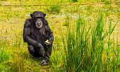 Closeup Portrait Of A Western Chimpanzee Holding Some Food, Zoo Animal Feeding, Critically Endangere poster