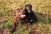 Adult Labrador Brown Color And A Small Puppy Labrador Black Color, Sticking Out His Tongue, Lie Toge poster