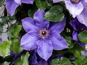 A Purple Purple Clematis Flower, Clematis Viticella, Blooms In A Japanese Garden. poster