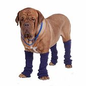stock photo of leg warmer  - Dog with beads and leg warmers isolated - JPG