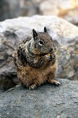 Furry Ground Squirrel Chewing On A Morning Meal While Sitting Up On Top Of A Rock. poster