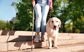 Guide Dog Helping Blind Person With Long Cane Going Down Stairs Outdoors poster