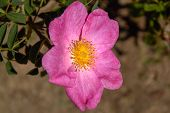 The Magical Wild Rose Rosa Gallica essig Rose poster